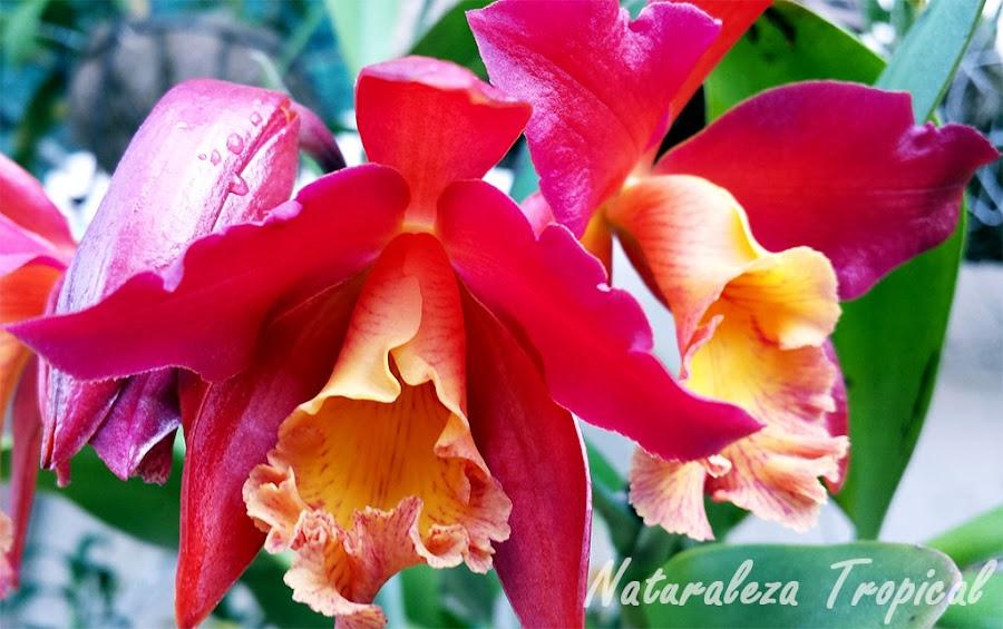 Flor de una orquídea del género Cattleya