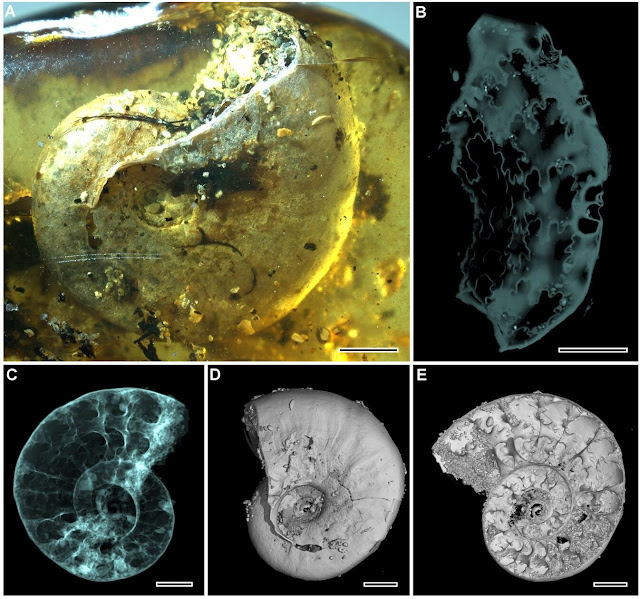 Coastal organisms trapped in 99-million-year-old amber