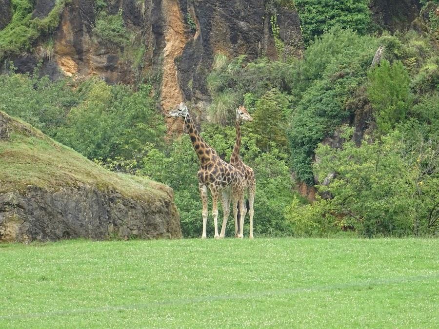 Jirafas Parque de la Naturaleza de Cabárceno, Santander