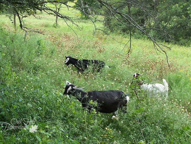 3 goats eating brush in a field
