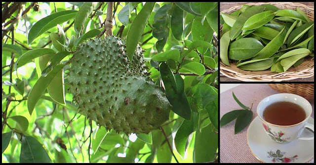 Help Boost The Immune System with Soursop (Guyabano)