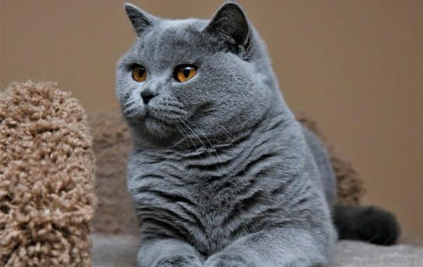 kucing abu abu bulu pendek