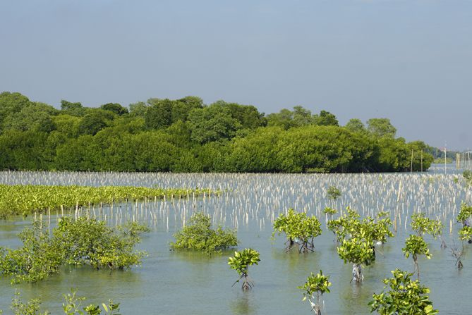 Pancang-pancang kecil pengikat bibit mangrove
