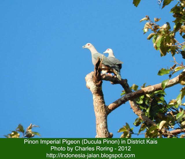 Burung Kumkum Kelabu (Pinon Imperial Pigeon)
