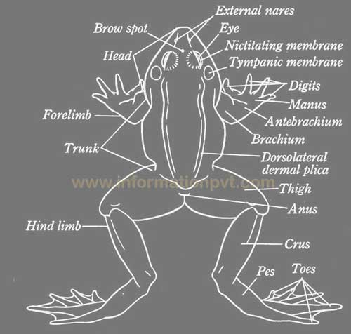 Dorsal view of the frog diagram