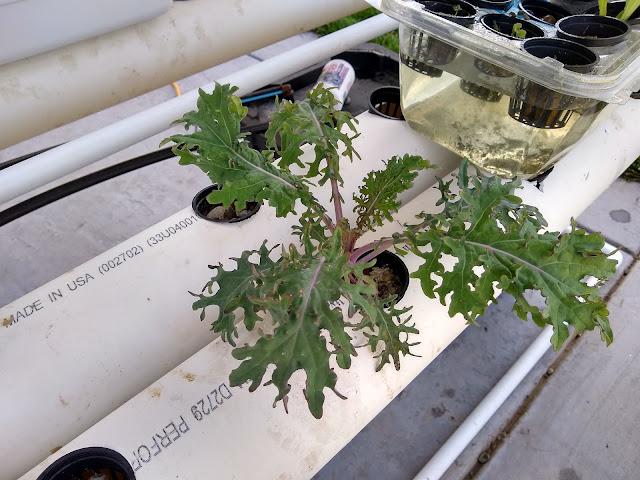 hydroponic kale