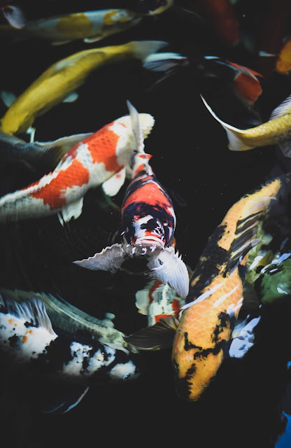 Estanque de peces Koi