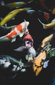 ▷ Pez Koi | Guía de cuidado y Curiosidades de los Peces Carpa Koi |