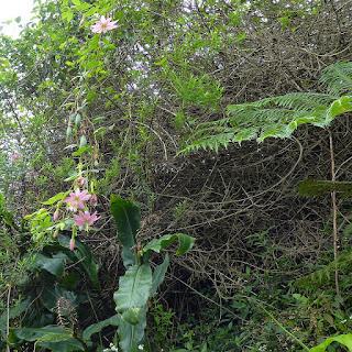 Passiflore banane - Curuba - Passiflora tripartita var. mollissima - Grenadine banane - Barbadine