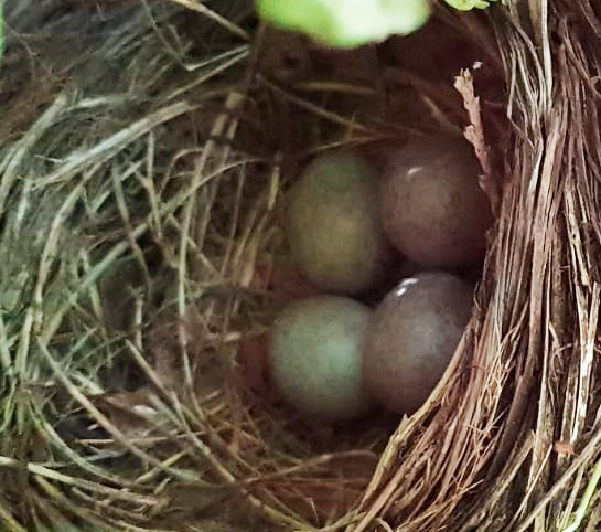 Close up of blackbirds' nest in the UK with four blue green eggs, May 2018