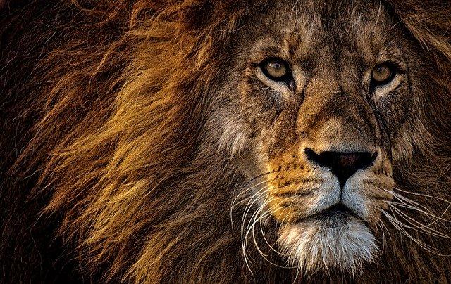 ライオン、Alexas_Fotos Pixabayからの画像