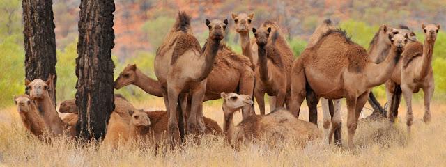 Αυστραλία: Θα θανατώσει 10.000 καμήλες γιατί πίνουν πολύ νερό και …αποβάλλουν πολύ μεθάνιο!!!