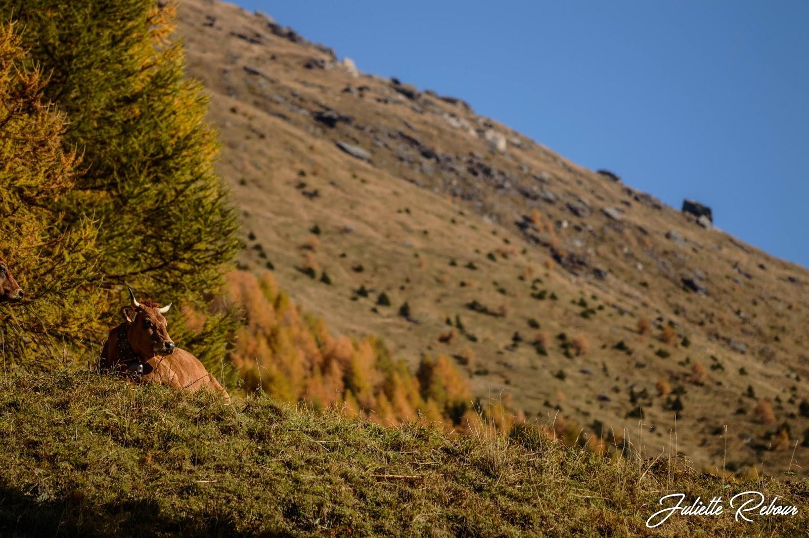 Tarine en alpage en Savoie