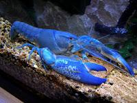 Lagosta é o nome comum dado a uma grande diversidade de espécies de crustáceos marinhos, caracterizados por terem as antenas muito longas e a cauda em forma de leque. Estes crustáceos podem atingir grande tamanho, com peso superior a 1 kg. E têm uma grande importância econômica, já que são considerados alimentos de luxo.