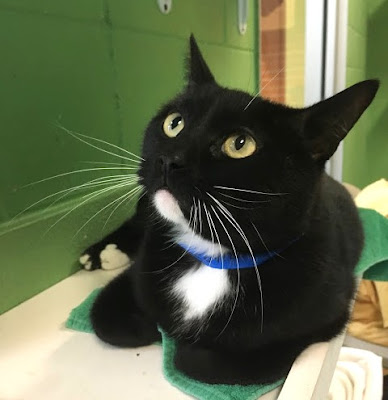 Tuxedo cat up for adoption
