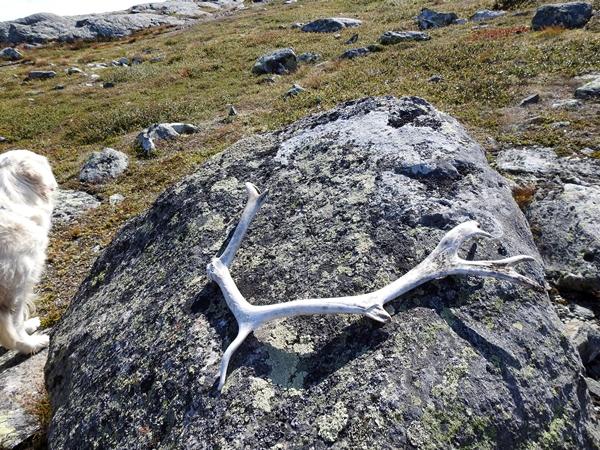 Haglebu Haglebunatten reinsdyrhorn