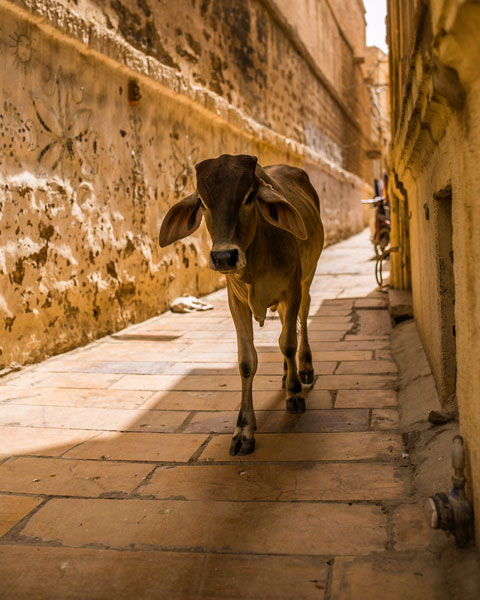 cow streets jaisalmer fort