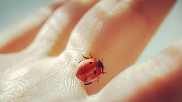 حشرة ام علي