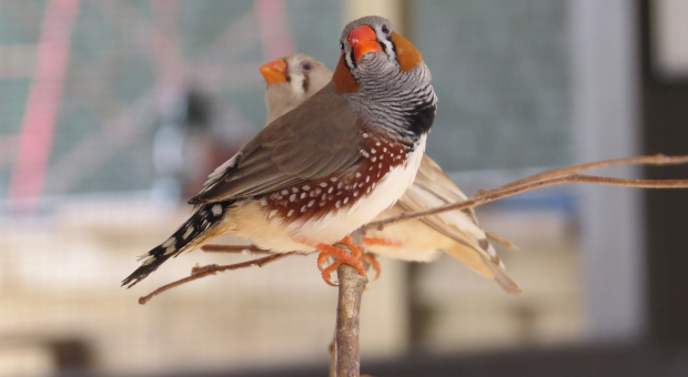 The Benefits of Selective Finch Breeding