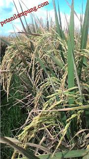 cara merawat tanaman padi panen melimpah