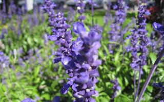 manfaat-bunga-lavender-untuk-kesehatan.jpg
