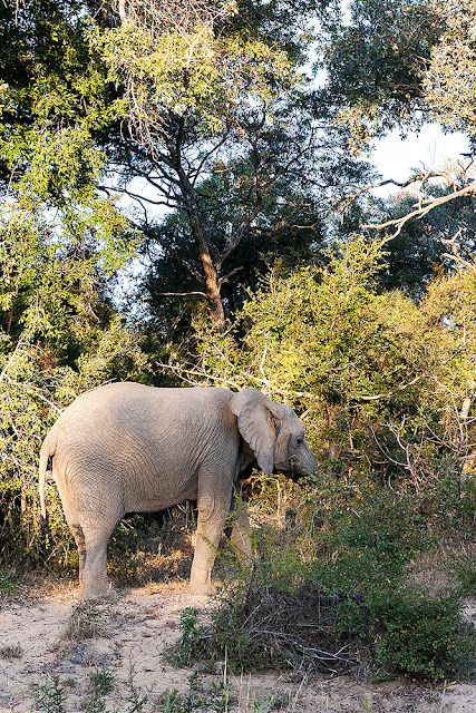 elefante parco kruger sud africa safari