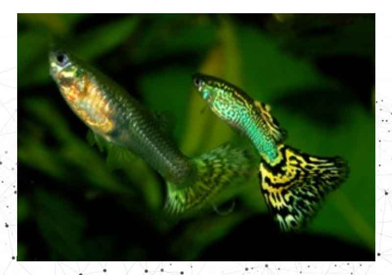 la-reproduction-du-guppy-poisson