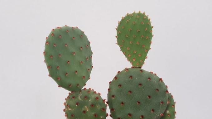 Succulent กับ Cactus คืออะไร