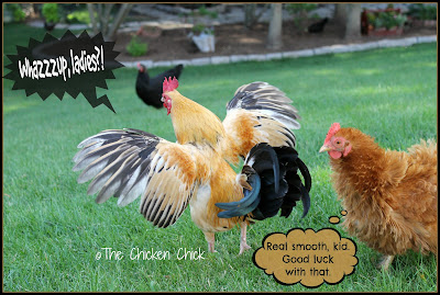ROOLET: Chicken Chick slang for a young, male chicken