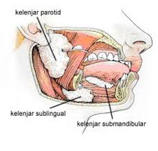 kelenjar saliva