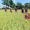 Bhayangkari Ranting Polut, Gelar Panen Raya Padi Dilokasi Ketahanan Pangan Polsek Polut