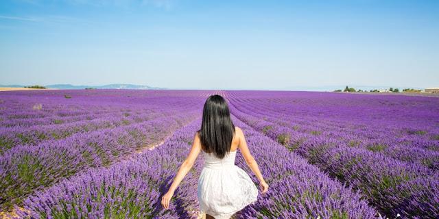cánh đồng hoa oải hương đẹp nhất thế giới 16