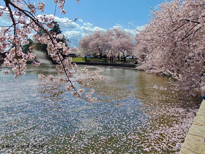 cherry blossoms at Tidal Basin, Washington DC