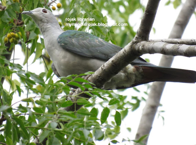 Green Imperial Pigeon in Ubin