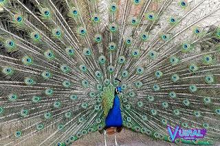 Contoh Hewan Aves - Burung Merak