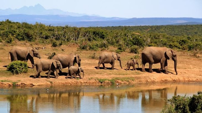 Hat elárvult elefántot költöztettek át a Viktória-vízeséshez