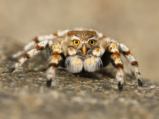 Araña peluda con cara de búho, veneno, pájaro.