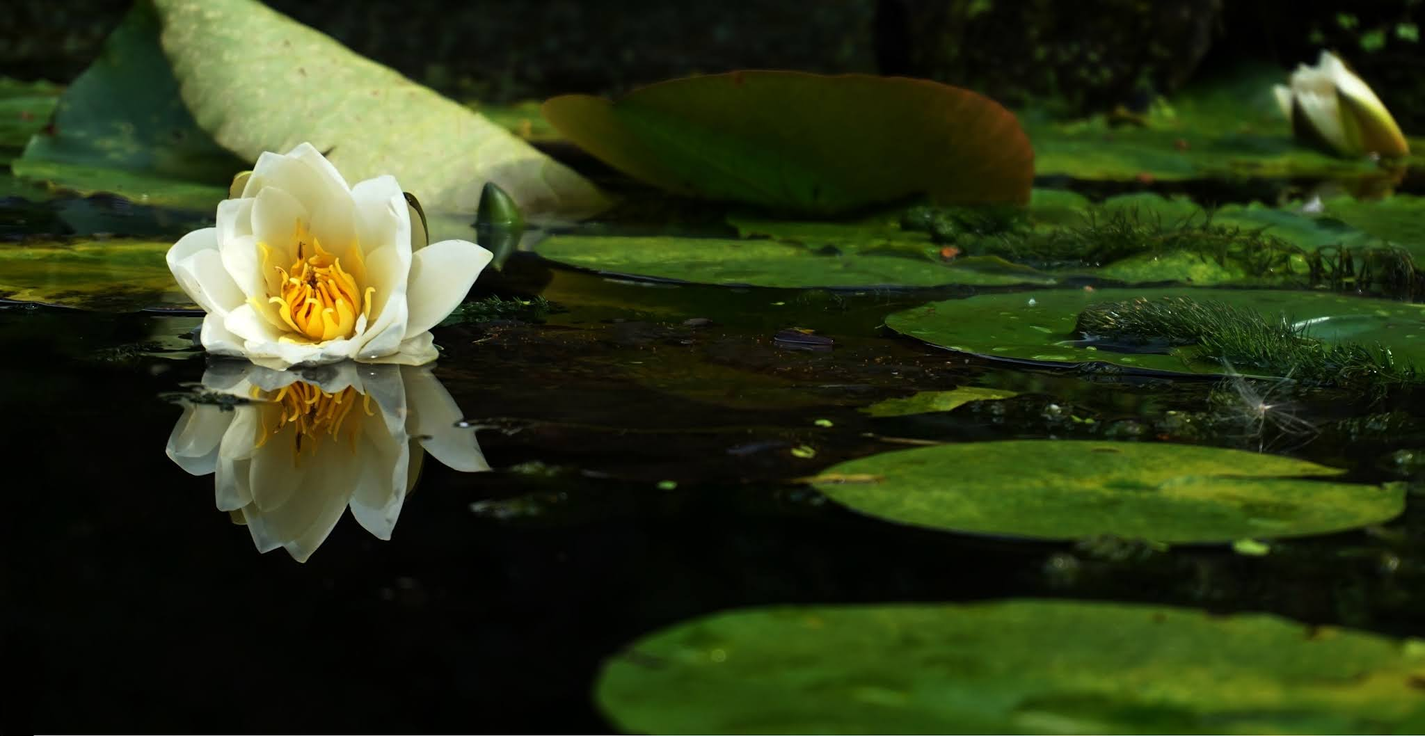 Free stock image by Suzy Hazelwood of a lily flower on a pond from Pexels