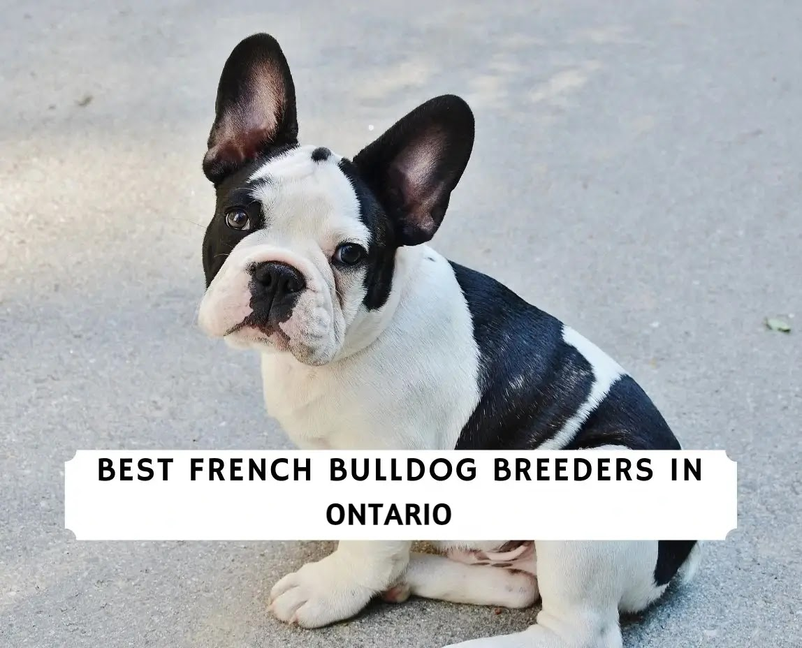 Best French Bulldog Breeders in Ontario