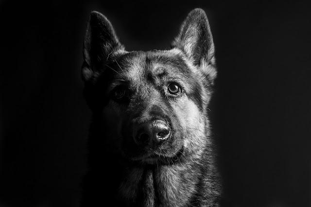 black german shepherd wallpaper
