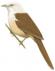Gampsorhynchus rufulus