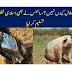 Why are pigs not halal? Hanzeer ka gosht islam me kayoon haram.
