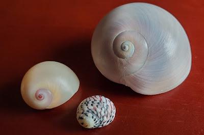 photo of three nautilus shells