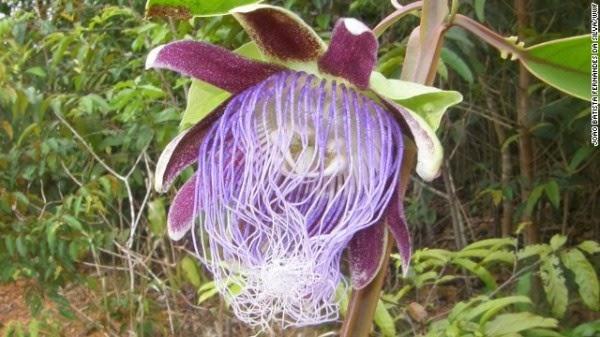 Passiflora longifilamentosa