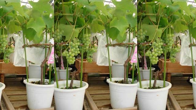 Cara penanaman tanaman buah dalam pot agar cepat berbuah