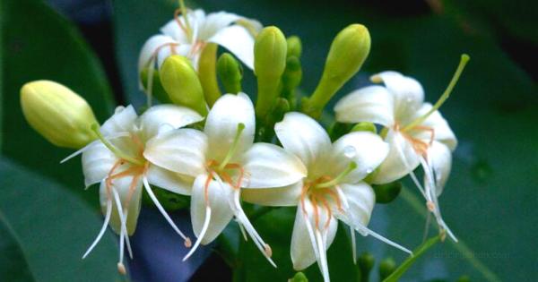 Bunga Tembesu