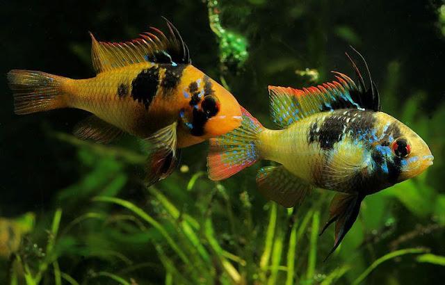Mengenal Ikan Ramirezi, Jenis-jenis dan Cara Budidayanya