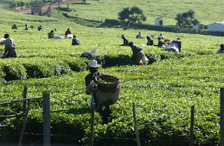 South India tea production down , east India tea production up news in hindi