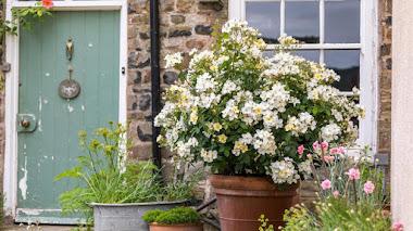 10 rosas inglesas que crecen bien en maceta