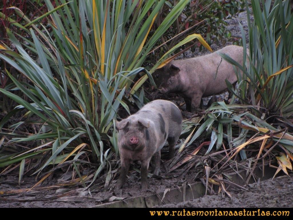 Ruta Artedo, Lamuño, Valsera: Cerdos en una pocilga